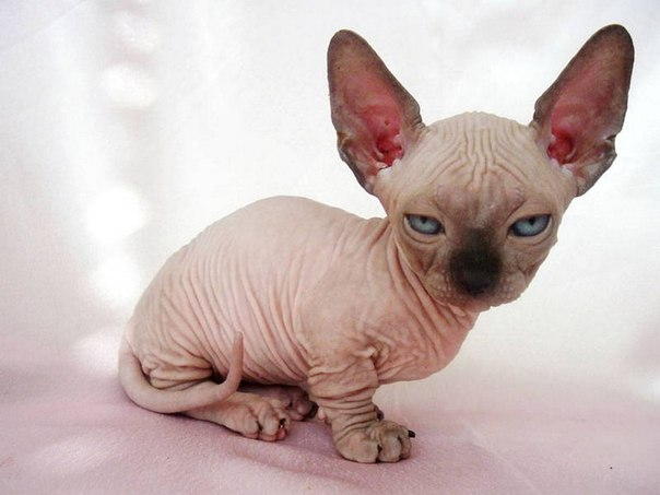 minskin cat images