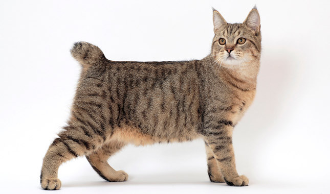 pixie-bob cat breed