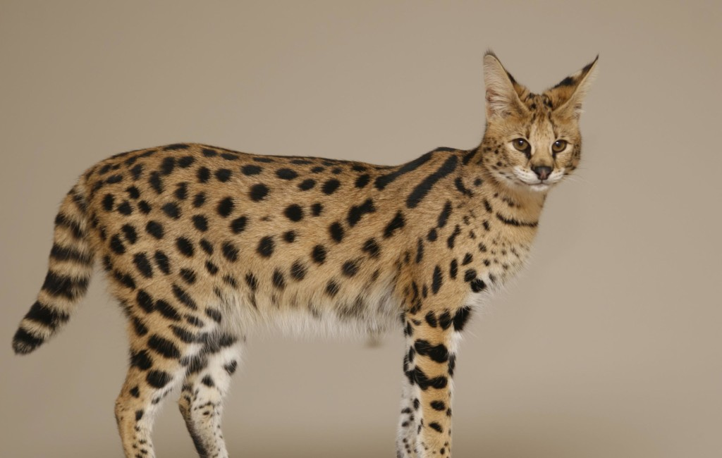 savannah cat breeds