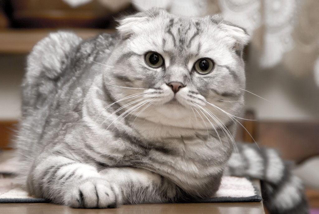 scottish fold cat pics