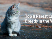 Top-8-Rarest-Cat-Breeds-in-the-World