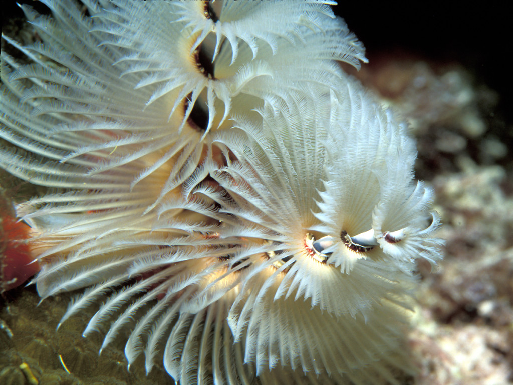 christmas tree worms sea water creature