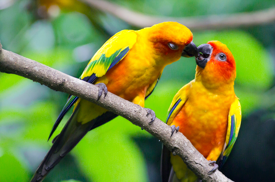 Lovebirds Parrot
