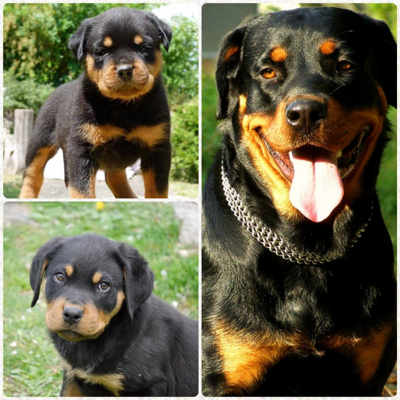 Rottweiler dog breed
