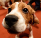 Beagle-apologies-baby-for-stealing-toy