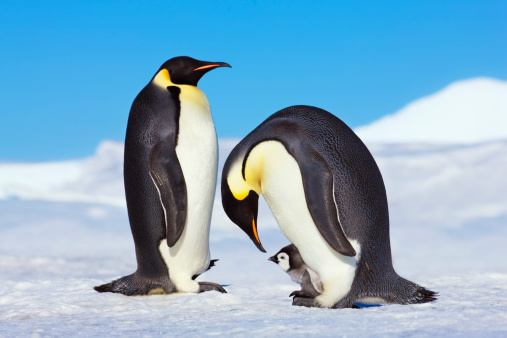 Emperor Penguins - flightless birds