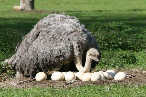 Greater Rhea flightless birds