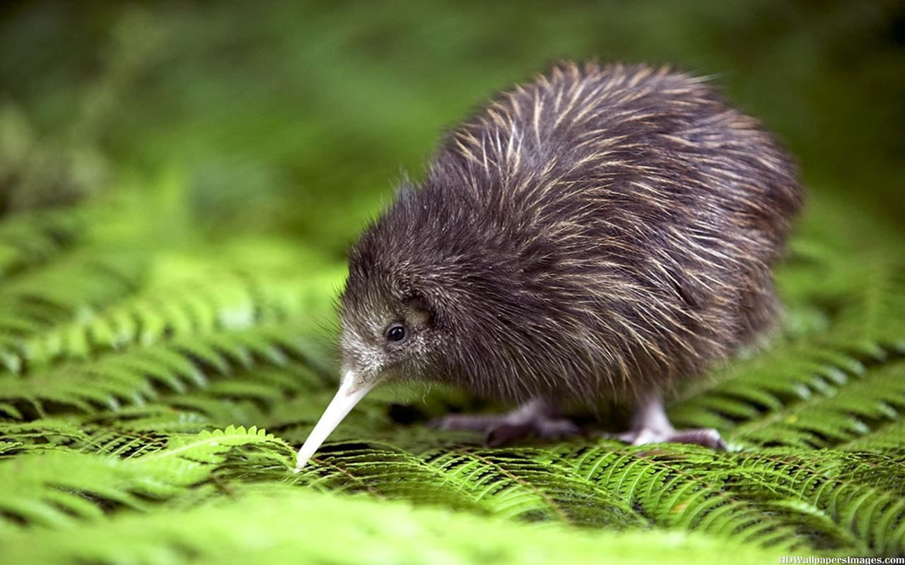 kiwi - flightless bird