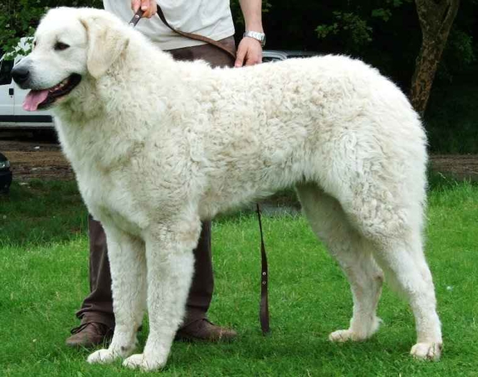 Kuvasz largest dog breeds