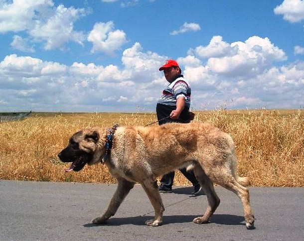 kangal biggest dog
