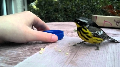 feeding injured bird