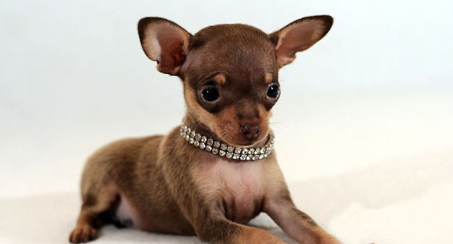 Picture of Russian Toy Terrier