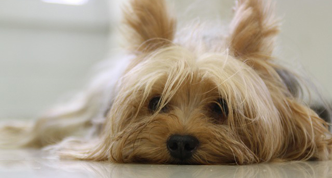 Picture of Yorkshire Terrier