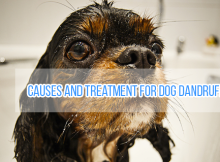 CAUSES-and-Treatment-for-Dog-DANDRUFF