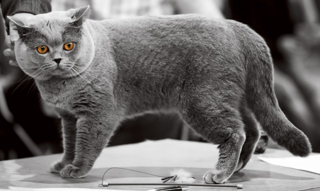 british-shorthair