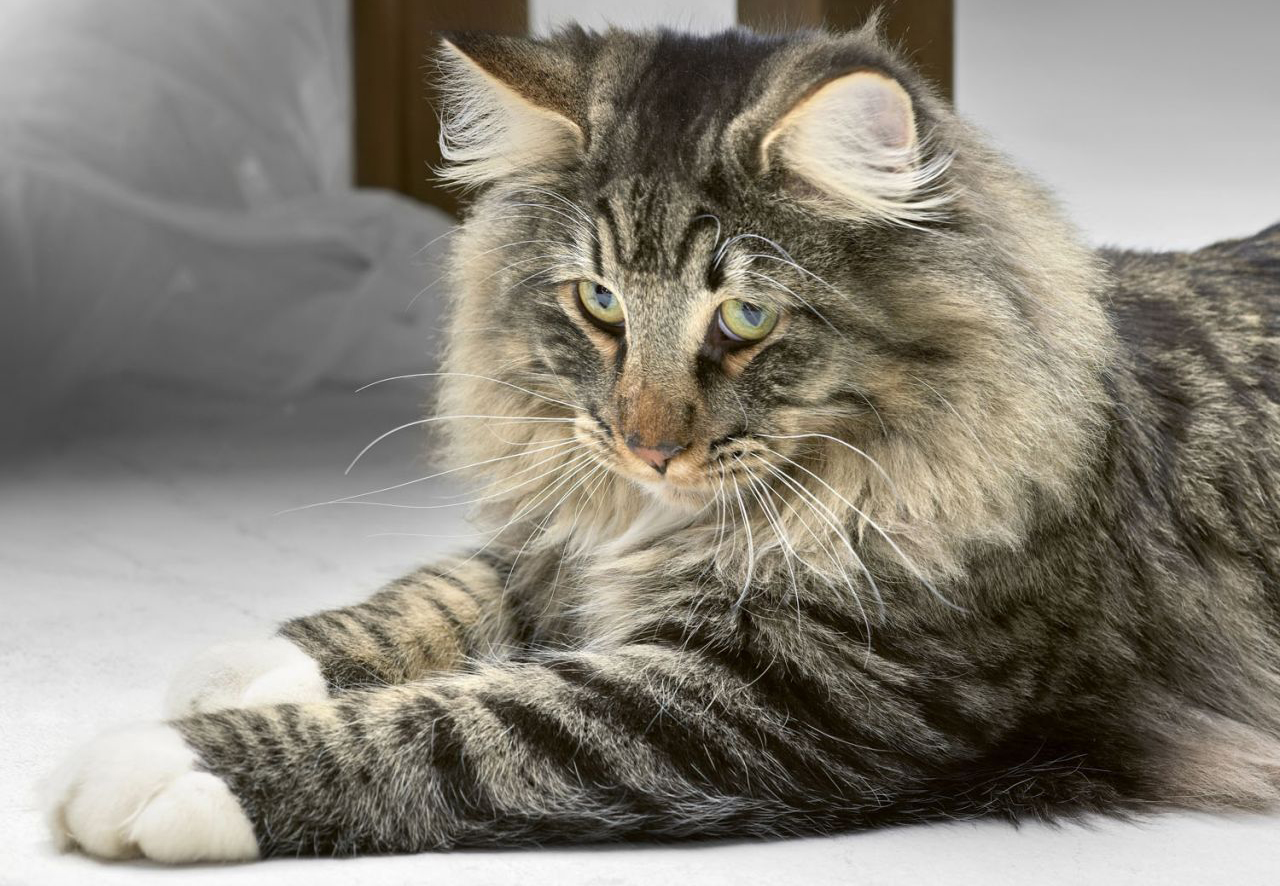 10 Huge Big st Cat Breeds in the World
