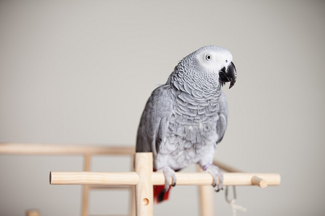 top 10 Parrots list - African Grey Parrots