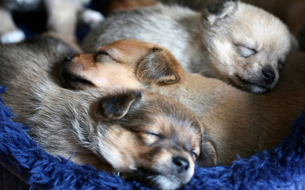 dog-puppies-dreaming